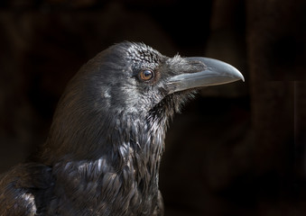 Side view of  Black  Crow( raven) on black background