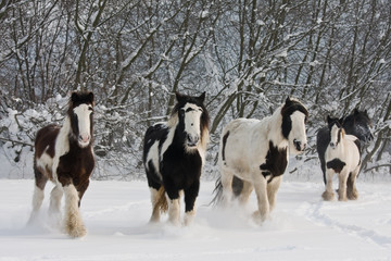 Herd of running spotted horses