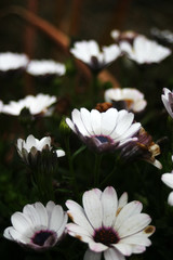 White daisies in a garden after the rain