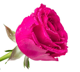 One rose with dew drops on a white background