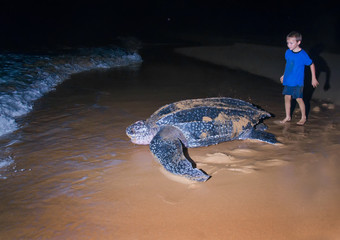 The boy looks at returning to the Atlantic Ocean leatherback tur