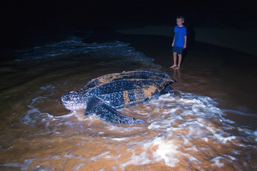 The child looks at returning to the Atlantic Ocean leatherback t