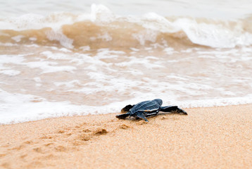 Just born baby leatherback turtles crawled to the surf
