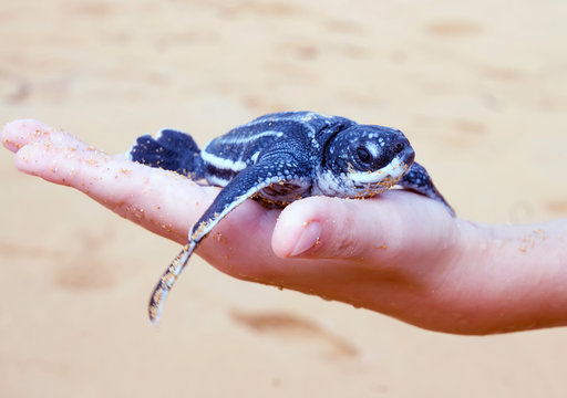 Just born baby Leatherback turtle  ( Dermochelys coriacea) on a