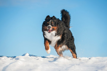 Funny bernese mountain dog playing in winter