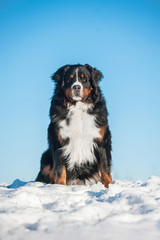 Bernese mountain dog in winter