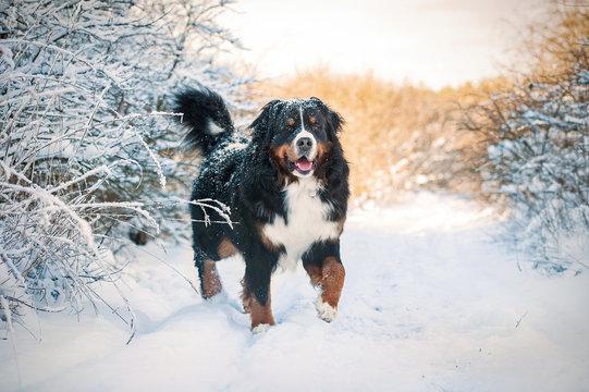Bernese mountain dog on the walk in winter