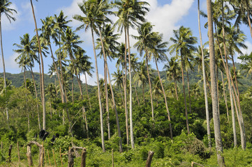 Tropic jungle of tall coconut palms.