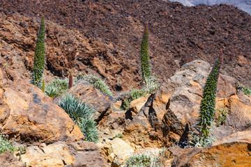 Red tajinaste flowers on the El Teide Volcano, Tenerife, Spain
