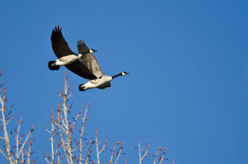 Two Canada Geese Flying Low Over the Trees