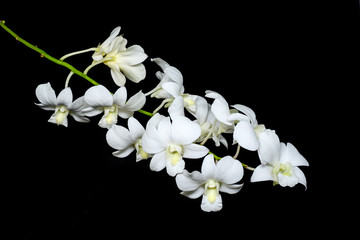 Beautiful White orchid isolated on a black background