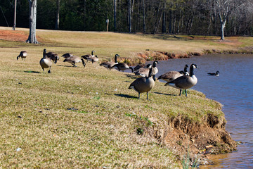 Landscape gaggle of Canadian geese standing next to a pond