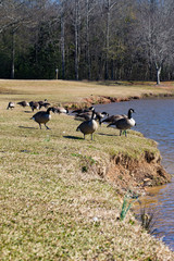 Portrait of flock of Canadian geese standing next to a pond