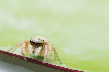 Jumping spider on a lotus leaf (space for text).