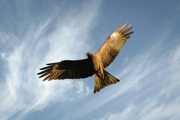 Flying Eagle known as black kites of Pakistan