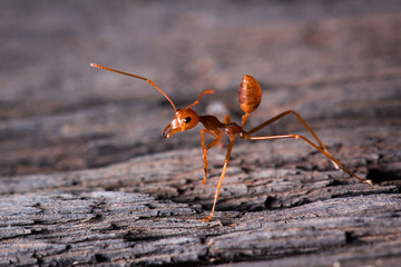 red ant ready to fight on wooden