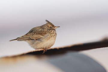 Crested Lark (Galerida cristata) in winter