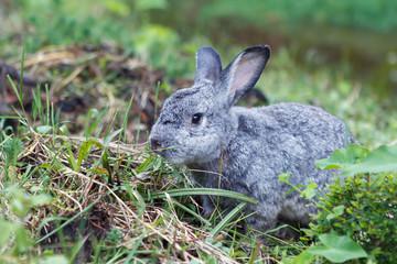 Cute little gray rabbit on green grass.
