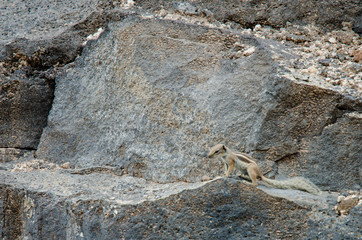 Chipmunk Outside His Cave On Rocks