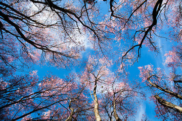 Sagura Flower in winter