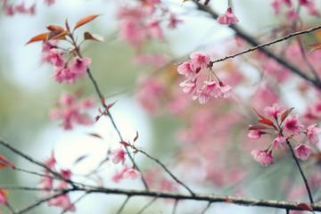 Cherry blossom , pink sakura flower