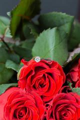Beautiful red rose, gift