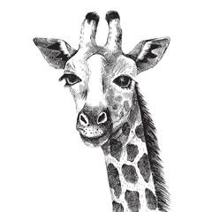 Hand drawn giraffe portrait