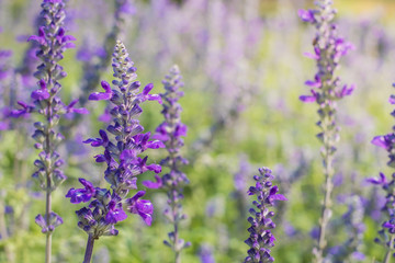 Image of beautiful bright violet lavender flowers for nature background