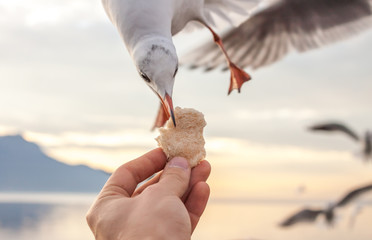 hand with food for the gulls