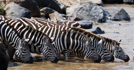 Aluminium Prints Zebra Group of zebras drinking water from the river. Kenya. Tanzania. National Park. Serengeti. Maasai Mara. An excellent illustration.