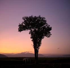 Silhouette alone tree  sunrise.