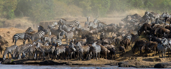 Big herd of zebras standing in front of the river. Kenya. Tanzania. National Park. Serengeti. Maasai Mara. An excellent illustration.