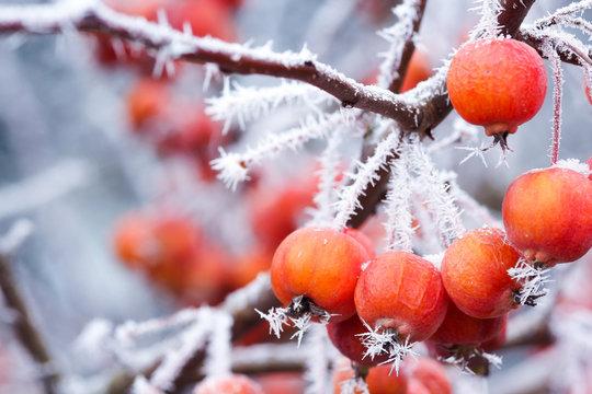 Zieräpfel bei Frost