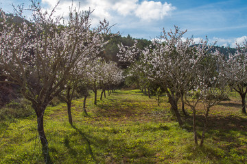 Almond blossom in Ibiza, Spain