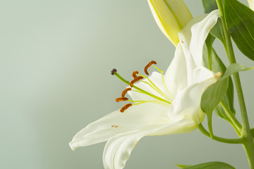 White lily flower in bloom on a macro pistil still isolated on a grey background
