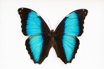 Beautiful blue butterfly, morpho  deidamia