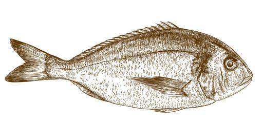 engraving illustration of dorada