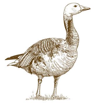engraving  antique illustration of goose