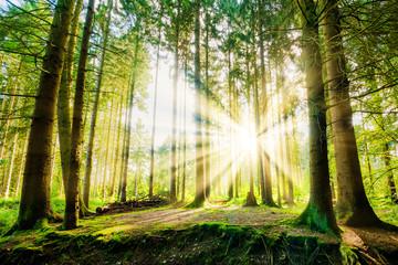 Fototapete - Wald mit Sonne