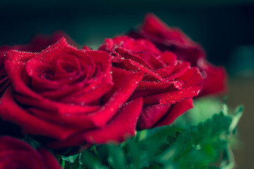 Beautiful red rose macro shot close up. Valentines Day