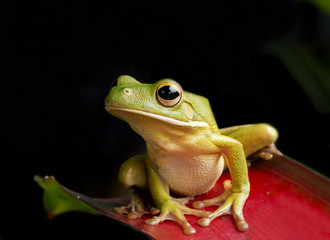 Giant Tree Frog on Red Foliage