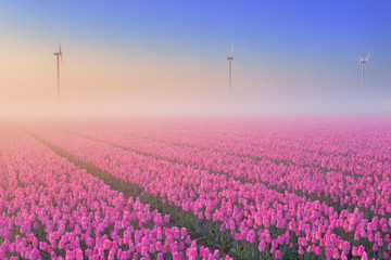 Sunrise and fog over blooming tulips, The Netherlands