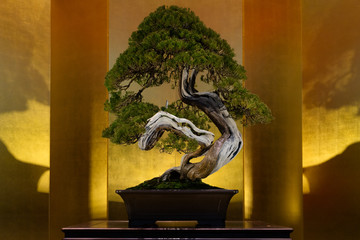 Japanese art form using trees, Bonsai, on the gold background