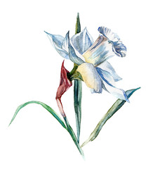 the narcissus spring flowers watercolor hand drawn isolated on the white background