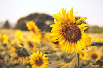 Vintage tone: Sunflower field