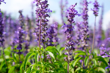 Close up of blue salvia flowers in garden Wall mural