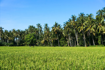 Scenic views of paddy fields and coconut trees on the background