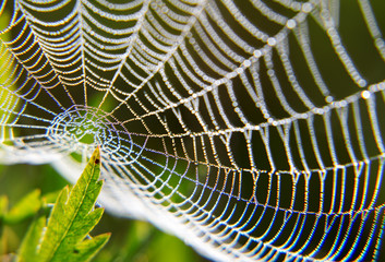 Morning dew on a spider web. Texture water drops on the plant.