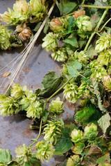 Green hop and ears of barley