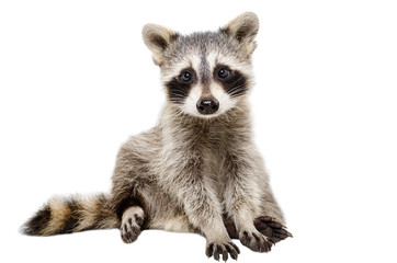 Funny raccoon sitting isolated on white background Wall mural